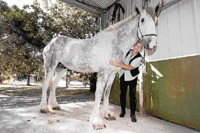 Lielākā zirga tituls pieder... Autors: MilfHunter Ginesa Pasaules Rekordi 2