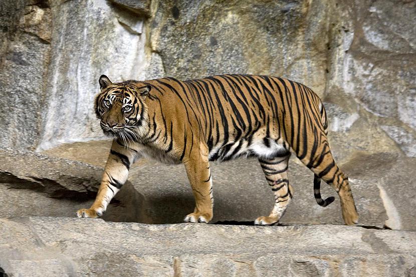 Tīģeriem ir ļoti spēcīgas... Autors: Zāģis Fakti par tīģeriem.