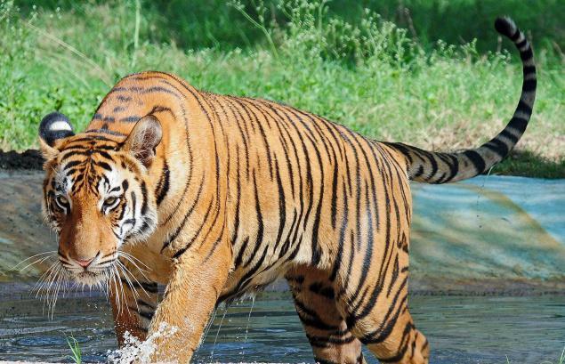 Tīģeri izmanto savu urīnu... Autors: Zāģis Fakti par tīģeriem.
