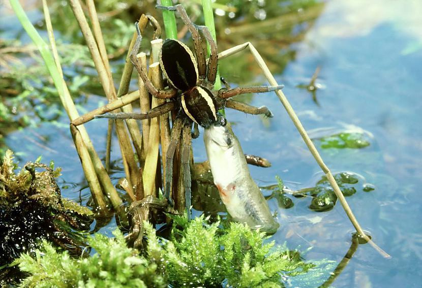 Tas tā ir tāpēc ka scaronie... Autors: Zirnrēklis Zirnekļi, kas pārtiek no zivīm