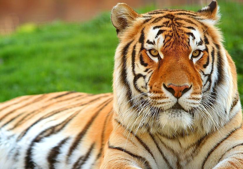 Kad tīģeris medī viņscaron... Autors: Zāģis Fakti par tīģeriem.