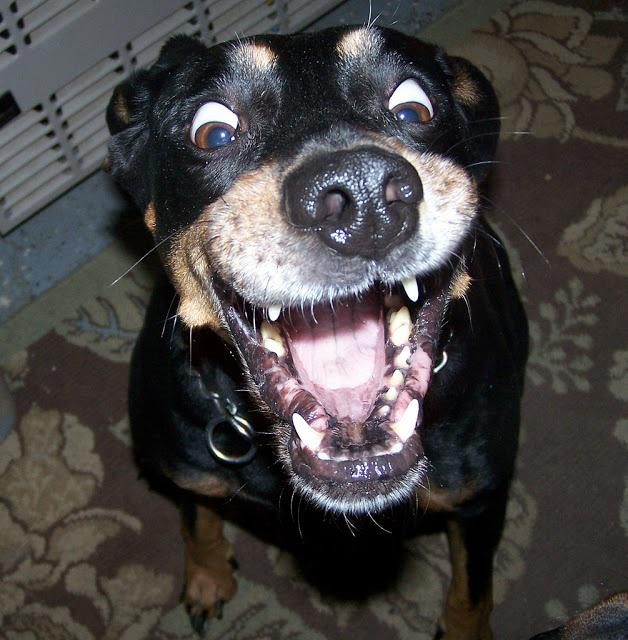 funny dog faces - 628×640